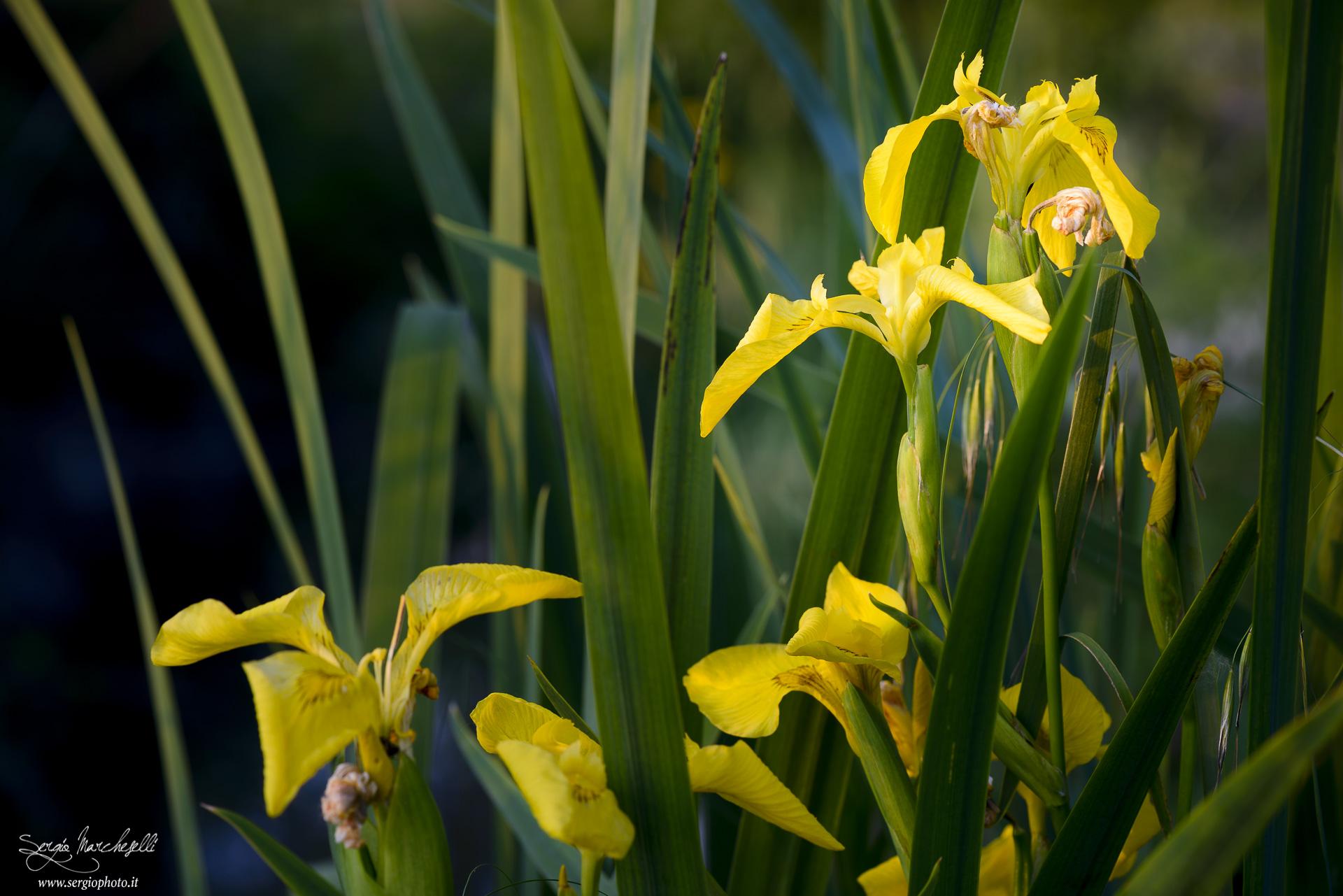 fiori-di-fosso