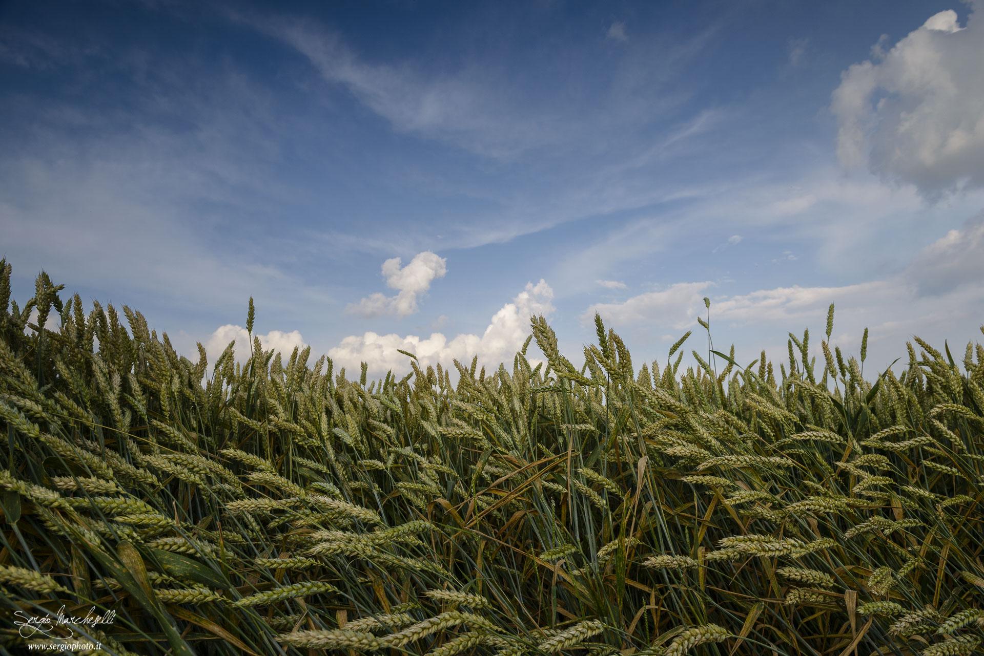 Il vento nel grano