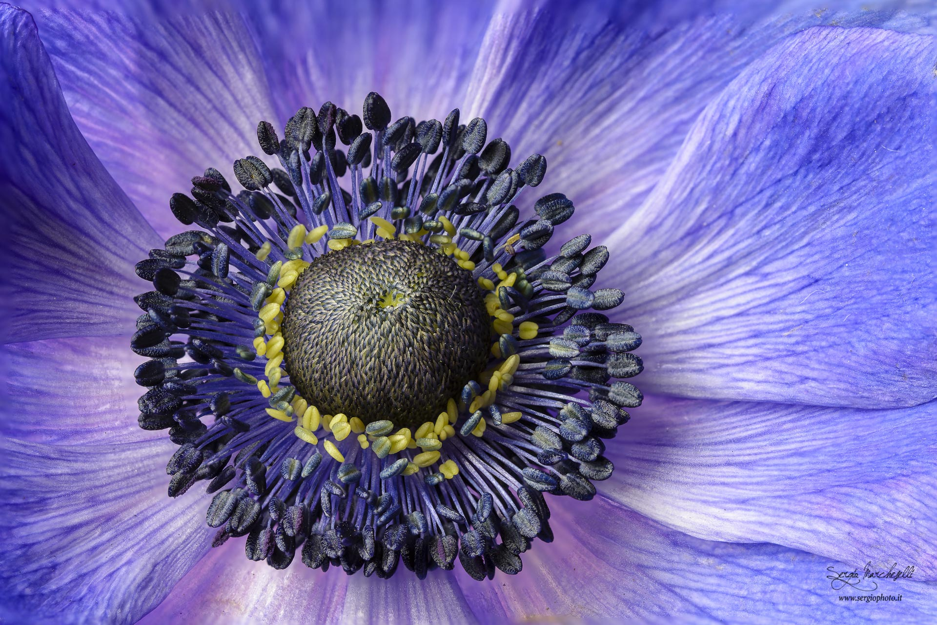 anemone-viola